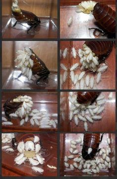 Mama cockroach gives birth to hundreds of nymphs. When they exit the ootheca they are white, but soon they will darken. Giving birth is hard work. It must hurt to lay that ootheca or egg case.