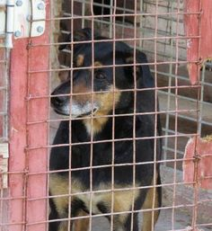 AT SHELTER SINCE APRIL 2014!!! Jake is a senior Shepherd/Rottweiller mix who is at Jay County Animal Control, Portland,In.