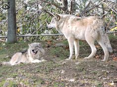 An Ecomuseam Zoo?  An Example To Follow or A Waste of Time? Animals Beautiful, Goats, Husky, Cutest Animals, Husky Dog, Goat