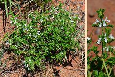Acrotome hispida - Google Search Shrubs, Perennials, Google, Plants, Shrub, Plant, Perennial, Planets