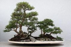 serissa bonsai trees, This penjing by Qingquan 'Brook' Zhao was created from very old imported serissa from China.