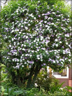 Brunfelsia pauciflora - Yesterday, Today and Tomorrow- possible for front entry; full to part shade, regular water