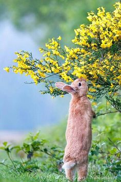 Lente - konijn en bremstruik
