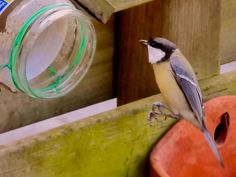 Great tit to the peanut butter