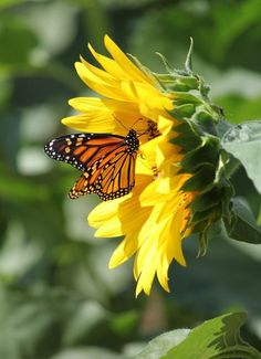Sunflower Pictures, Butterfly Pictures, Sunflower Art, Butterfly Flowers, Monarch Butterfly, Beautiful Butterflies, Beautiful Flowers, Butterfly Painting, Sunflower Wallpaper