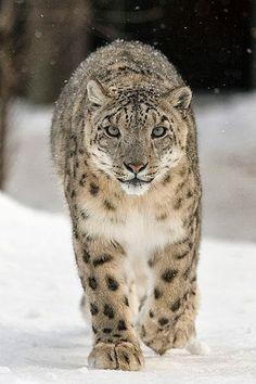 espécies de felinos- leopardo das neves
