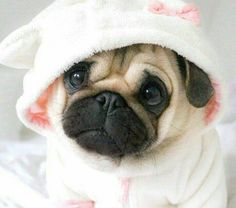 15 Facts That Prove Pugs are The Best Dogs Ever Pug Puppies For Sale, Cute Dogs And Puppies, Bulldog Puppies, Lab Puppies, Shitzu Puppies, Samoyed Dogs, Pomeranian Puppy, Cute Baby Animals, Funny Animals