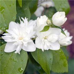 Kameliaschersmin 60-80cm - Prydnadsbuskar - Växter - Bygghemma.se