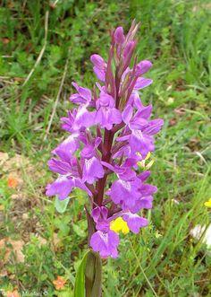 Inflorescencia de Orchis robusta que impacta por su gran belleza. Orquídea mallorquina