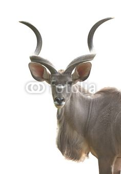 Greater Kudu antelope male isolated on withe