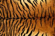 animal textures-tiger fur