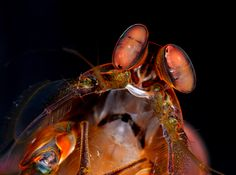 A female mantis #shrimp (Pseudosquillana richeri). Mantis shrimp are an ancient group of marine predators only distantly related to other more familiar crustaceans, such as shrimp and lobsters. [Photo credit: Roy L. Caldwell, Department of Integrative Biology, University of California, Berkeley]