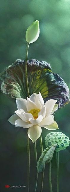 Lotus Flower Wallpaper, Wallpaper Nature Flowers, Beautiful Flowers Wallpapers, Most Beautiful Flowers, Flowers Nature, Exotic Flowers, Pretty Flowers, Flower Images, Flower Pictures