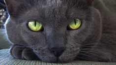 catp0rn:  Those eyes *_*  is that you. my love. russian blue.