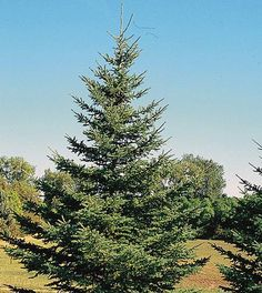 White Spruce Tree on Fast Growing Trees Nursery