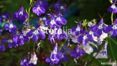 """Download the royalty-free video """"Lobelia flowers blossom in the garden, HD footage"""" created by JulietPhotography at the best price ever on Fotolia.com. Browse our cheap image bank online to find the perfect stock video clip for your marketing projects!"""