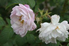 Sävel Ruusu   (Karolinan puutarha.)