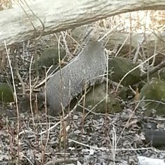 Last evening at the birdfeeder… Groundhogs!  The groundhog, also known as a woodchuck, is a rodent of the family Sciuridae, belonging to the group of large ground squirrels known as marmots. Spring is here. @dahlem_center
