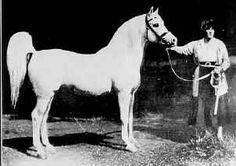 Photo: SKOWRONEK (Ibrahim (DB) x Jaskolka) 1909 grey stallion   Arabian Album: Crabbet Arabian Horses   Hypoint