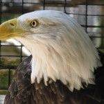 On April 12th, 1996, the Fish and Game Department brought Bilfred to the Peace River Wildlife Center. The American Bald Eagle was found injured in the Punta Gorda Landfill on U.S. 41 South. The age of the Eagle was two or three years old. Upon an examination, it was found that there had been impact to the left wing which subsequently became infected... Read more -> http://peaceriverwildlifecenter.org/adopt-bilfred/