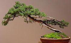 bonsai-estilo-shakan.