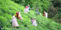 petitie: International Finance Corporation: Don't Finance Labor Abuse on Indian Tea Plantations