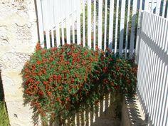 Kennedia prostrata 'running postman' Native Plants, Running, Garden, Garten, Keep Running, Why I Run, Gardens, Lob, Tuin