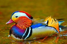 Now that's what I call colorful....Wood Duck (By Shutter Man/Flickr)