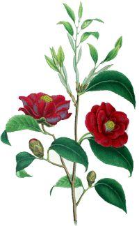 http://www.waschkultur.de/pflanzenoele/pflanzenoele/kamelienoel.htm Kamelien Art Camellia Oleifera