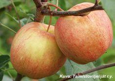 Omenapuu Kersti Apple, Fruit, Food, The Fruit, Meals, Yemek, Apples, Eten