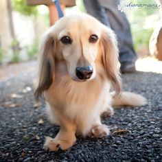 Long haired miniature dachshund. Shaded English cream. Photo by Diana Maire.