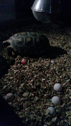 Schildpadden Ribbel en Rabbel met 6 eieren.