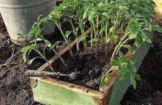 Зачем нужно поливать помидорную рассаду раствором йода. Супер-урожай гарантирован!