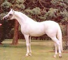 CARMARGUE #416873 (White Lightning x Velvet Shadow, by Bey Shadow) 1979-2004 grey stallion bred by Souter House Arabian Stud, England; Exported to Spain 1985;  on lease to USA 1987.