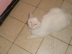 #namen #namur #vermist #kater 20 janvier c'est un chat blanc mâle castré et logiquement protégé par les amis des animaux je pence qu'il est pucé soit au nom de la maîtresse (déséder) ou a mon nom Amis des animaux - Belgique - chats/chiens/perdus/trouvés https://www.facebook.com/photo.php?fbid=467046760066447&set=o.162881293858787&type=1&theater  Laetitia Borrelli https://www.facebook.com/laetitia.borrelli
