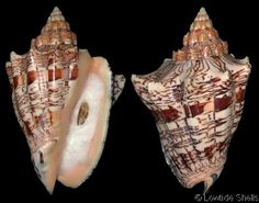 Voluta ebraea  Linnaeus, C., 1758 Hebrew Volute Shell size 70 - 260 mm   N & NE Brazil