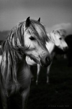 White horses like appalooza