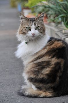 I want a long-haired cat just like this one (: Meow.