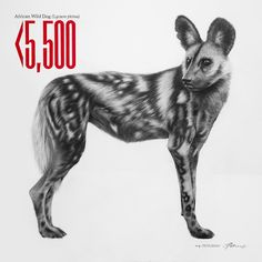 Wild Dog - Charcoal on canvas.  Less than 5,500 Wild Dog are left.
