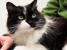 GWEN - Gato adoptado - Asoka el Grande