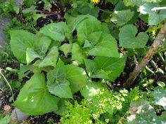 Yacón (Smallanthus sonchifolius, Syn.: Polymnia edulis, P. sonchifolia) ist eine Pflanzenart aus der Familie der Korbblütler (Asteraceae). Sie stammt aus Südamerika und wächst in den peruanischen Hochebenen in den Anden, wo sie seit Jahrhunderten zu einem wertvollen Nahrungsmittel zählt. Der Geschmack erinnert an eine Birne.
