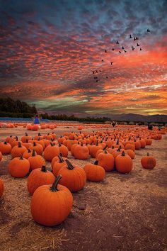 Pumpkins in many cases are wonderful round, bright red, and in autumn they must not be lacking especially on Halloween. The plants develop in fields or greenhouses. Kim Bieger operates around a dry fi Pumpkin Field, Pumpkin Farm, Pumpkin Wallpaper, Fall Wallpaper, Fall Background Wallpaper, Artsy Background, Wallpaper Gallery, Wallpaper Pictures, Autumn Scenes
