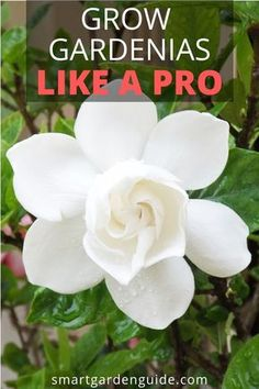 11 awesome gardenia plant care tips to ensure . 11 awesome gardenia plant care tips to ensure your gardenia plants - Smart Garden, Diy Garden, Garden Plants, Indoor Plants, House Plants, Indoor Gardening, Indoor Flowers, Flowering Plants, Air Plants