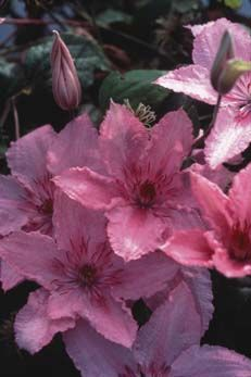 """Clematis Hagley Hybrid Medium-size rich pink flowers with ruffly edges and reddish anthers. Vigorous grower with 5-6"""" flowers Blooming June and September. Planted: 6/2016 (Roseland GC)"""