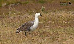 Upland Goose / Caiquen / Chloephaga picta | Flickr - Photo Sharing!