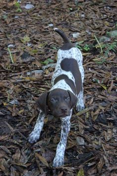 Zero the German Shorthaired Pointer Pictures 1056757