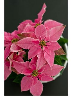 Pink Poinsettia ....a change from red