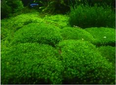 How To Grow Fissidens.  Great Looking Carpeting Plant