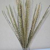 +Dried+Trim+Grass+-+Dried+Trim+Stick