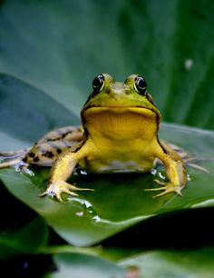 ~~You Looking At Me? ~ frog on a lily pad in the water garden by mikrin~~